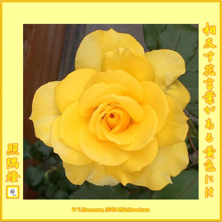 180727黄色い薔薇LRG