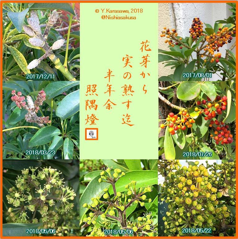 180730シェフレラの花芽から完熟迄LRG