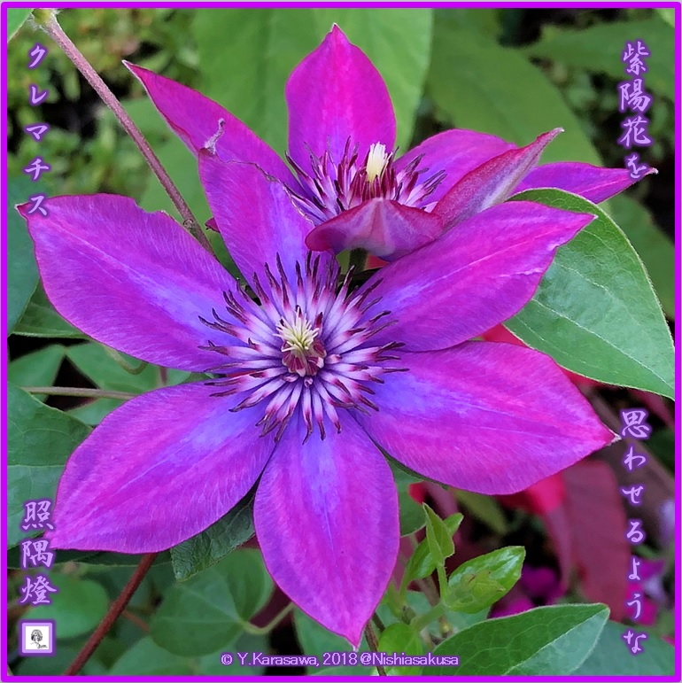 180805クレマチス紫陽花色LRG
