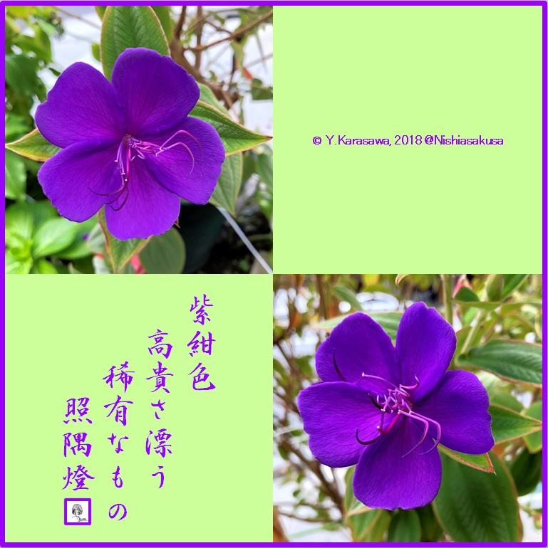 180808紫紺野牡丹LRG