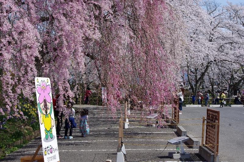 城址公園すだれ桜