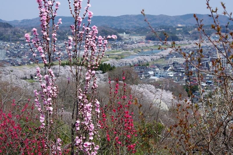 城址公園頂上からの一目千本桜