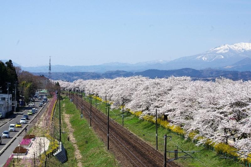 東北本線と桜並木