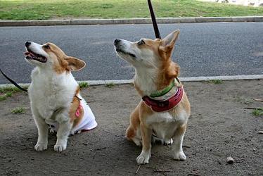 コーギーと柴犬・・・涙