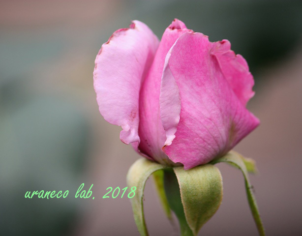 6月4日薔薇3