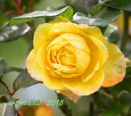6月4日薔薇2