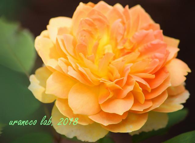 6月4日薔薇