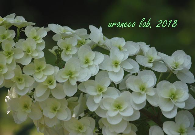 6月6日柏葉紫陽花6