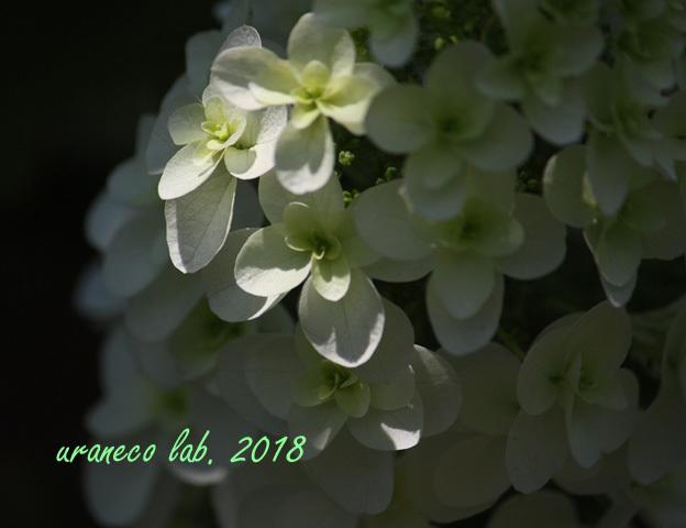 6月6日柏葉紫陽花5
