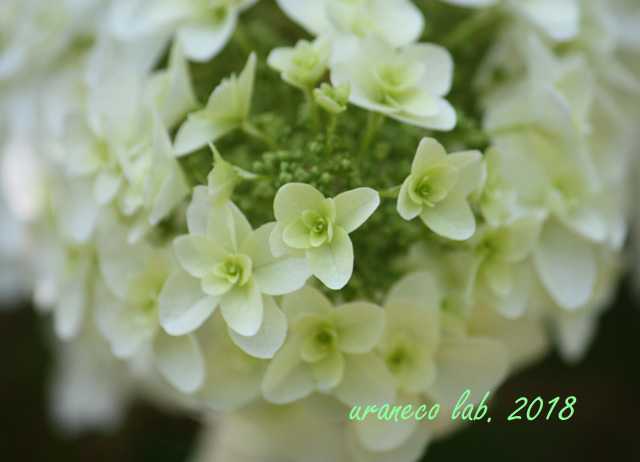 6月6日柏葉紫陽花4