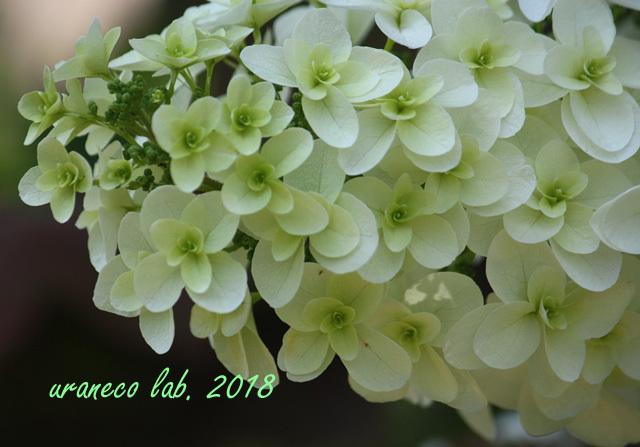 6月6日柏葉紫陽花3