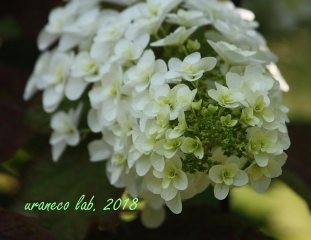 6月6日柏葉紫陽花2