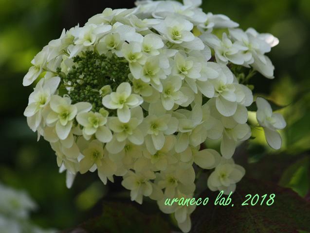 6月6日柏葉紫陽花