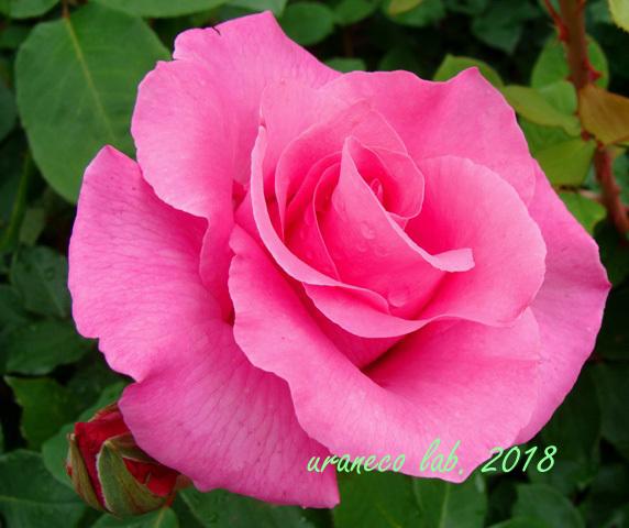 6月8日薔薇5