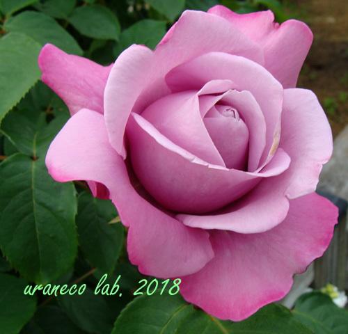 6月8日薔薇3