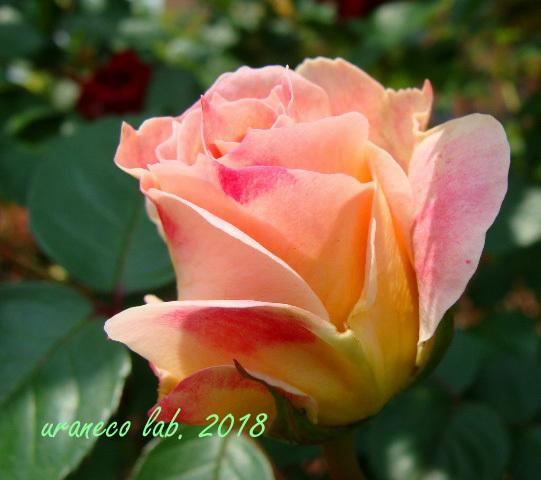 6月8日薔薇7
