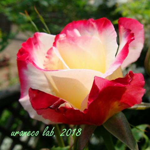 6月8日薔薇8