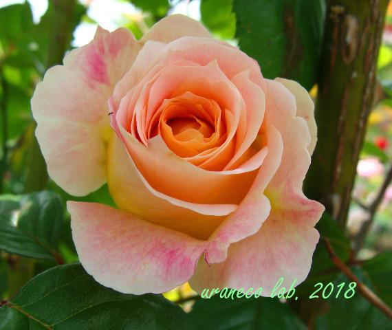 6月8日薔薇6
