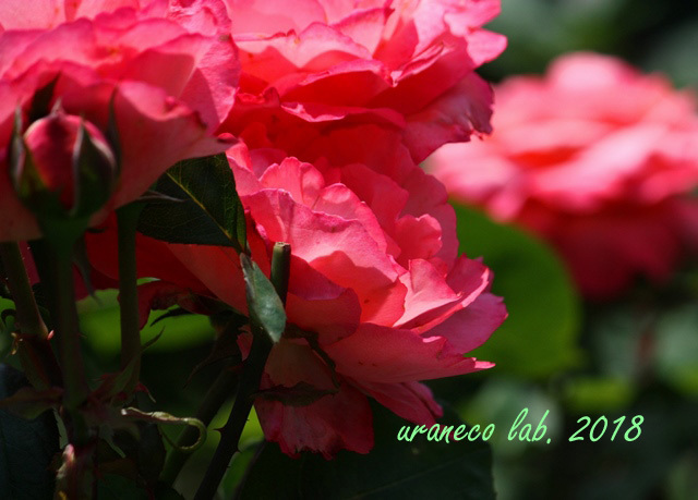 6月6日薔薇3
