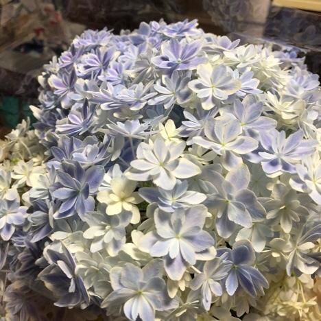 良き日の紫陽花