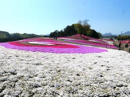 168箕郷の芝桜