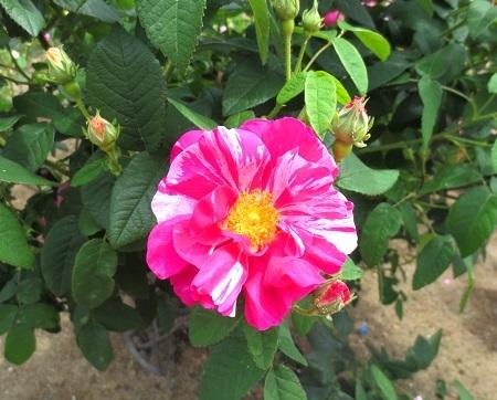 IMG_1671ブルガリアのバラ