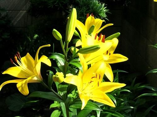 018黄色い百合1