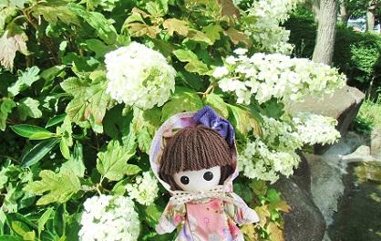カシワバアジサイ 柏葉紫陽花です 2018