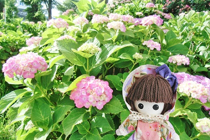 津田沼の紫陽花です 2018