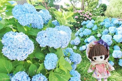 青い紫陽花も見事です 2018