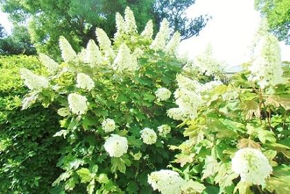 円錐形の白いお花は