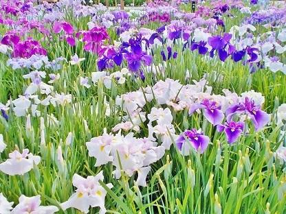 堀切菖蒲園の菖蒲達3 2018