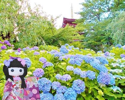 紫陽花 本土寺 五重塔