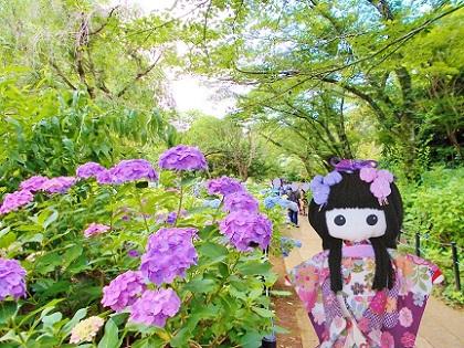 紫陽花の道 本土寺