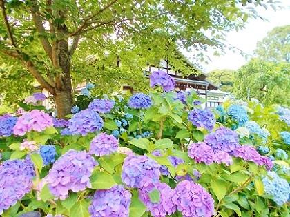 鮮やかな紫陽花 本土寺