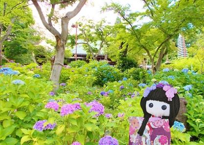 本土寺の本堂 紫陽花