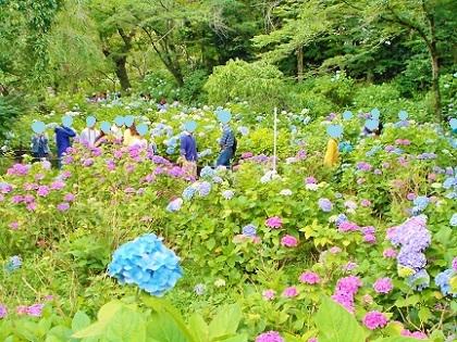 本土寺の紫陽花とお客様