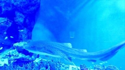 ネコザメさんです 品川アクア
