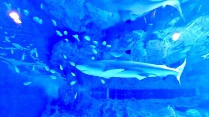 美しいサメさん 品川アクア