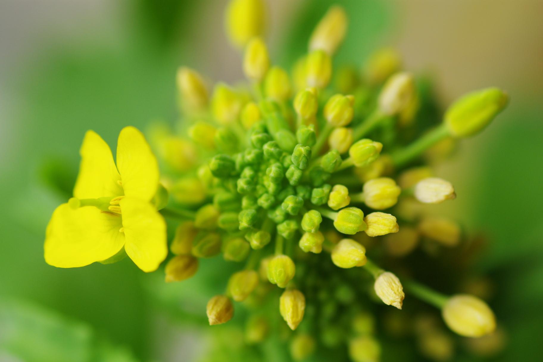 新続 菜の花の蕾!