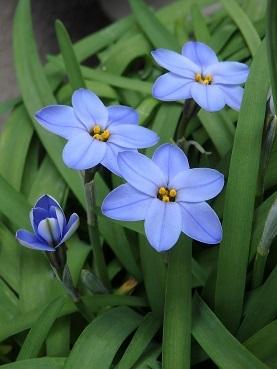 411ニラ花