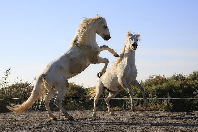 馬は 軽車両