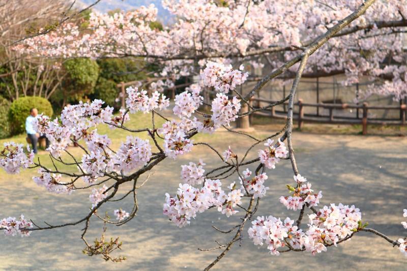 桜の優しさに♪