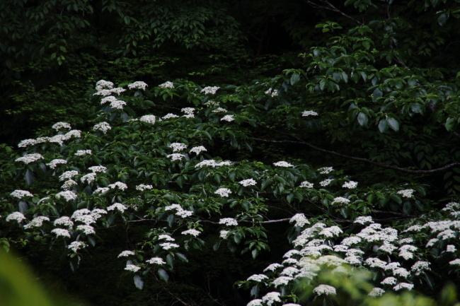 miyamazakura1805-01.jpg