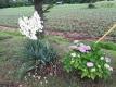 イトランと紫陽花