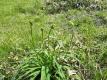 キスゲの花芽