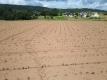 大豆の芽が出てきた畑