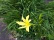 ユウスゲの開花