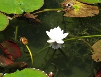 モネの池 その6