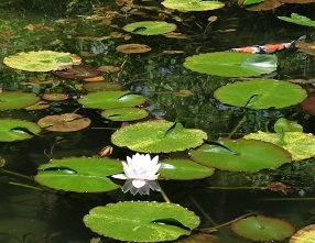 モネの池 その7